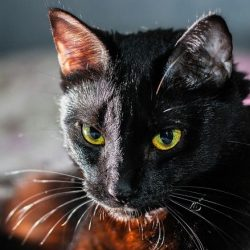 black cat in dream meaning